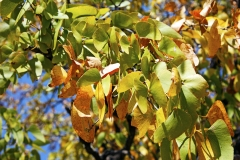 mopane-leaves.web_