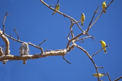 paerlspotted-owl-canaries.web_